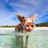 Fyre Festival Pig