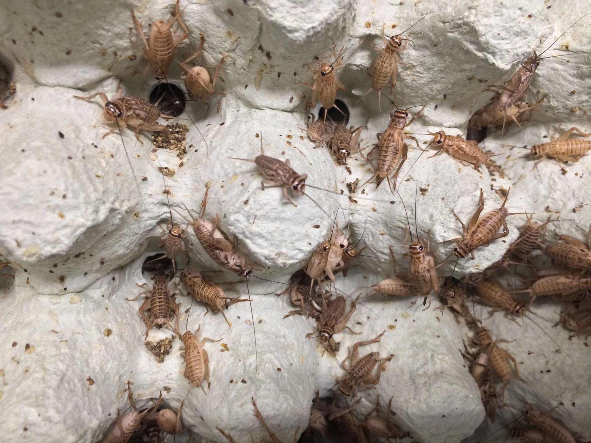 Photo of crickets growing in Pyhäsalmi mine