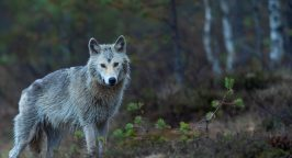 Photo of a wolf by Vincent van Zalinge on Unsplash