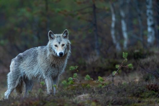Photo of a wolf by Vincent van Zalinge on Unsplash