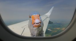 Duck looking in through an aircraft window