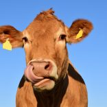 Image of a brown cow