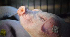 Closeup of a piglet